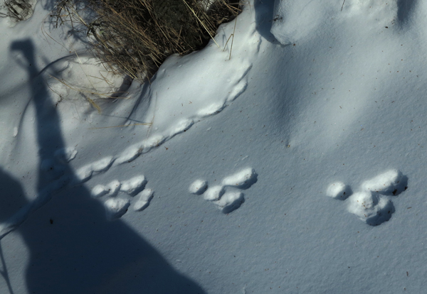 Snowshoe hair tracks and shadow.