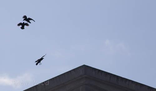 Ravens play in high winds above UAF's Fine Art Complex. April 17, 2013.