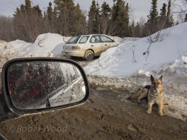 A dog watches the road
