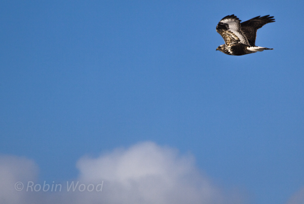 A Rough-Legged Hawk hung around Farmers Loop Rd for a few days early in May, 2013.