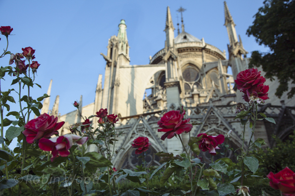 Roses and Notre Dame Cathedral. July 8th, 2013.