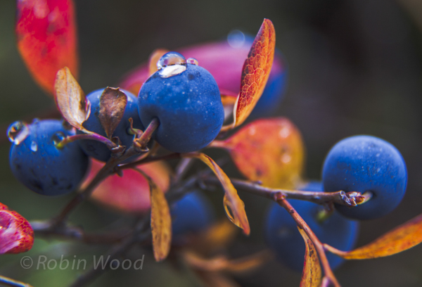Berries topped with dew rest on a branch.