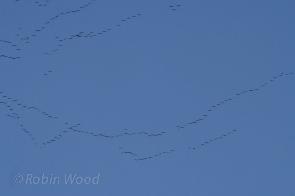 Migrating Canada geese.