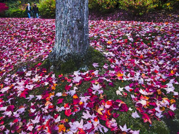 Vibrant leafs expand across the frame as a couple enjoys a walk near the Ballard Locks.