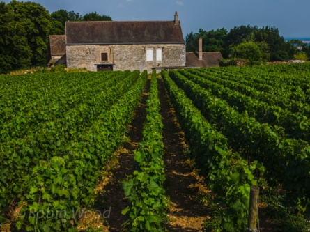 Parallele lines of grape vines recede into a stone structure.