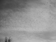 Waxwings two - Flight patterns
