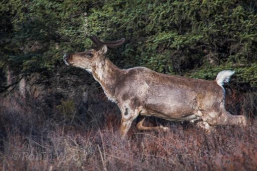 Caribou profile.