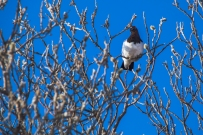 Male ptarmigan in a tree.