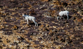 Dall sheep in Polychrome Pass.
