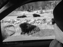 Bison are common along the ALCAN,. The one center left moved minimally, so it was alive when we passed.