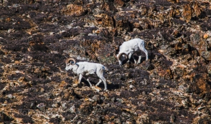 Dall sheep, masters of rocky slopes, forage in Polychrome Pass.