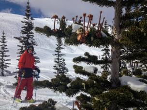 Skiing and strange trees on Whistler.