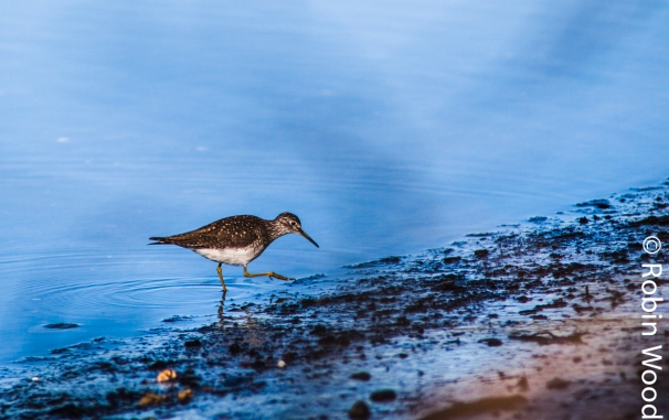 A sandpiper, a small migratory bird, feeds in the Delta Clearwater.