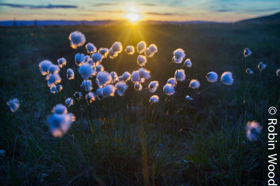 Cotton grass glows during a post-midnight sunset near the top of Granite Tors.