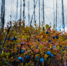 Forest fires are an important mechanism for regrowth in the boreal forest, and berries frequently find their nutrient-dense soil.