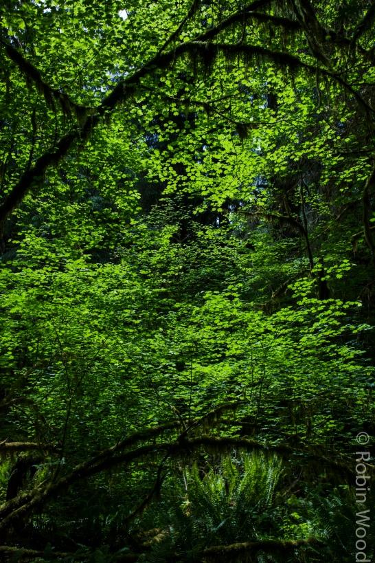 HohRainforest1-3